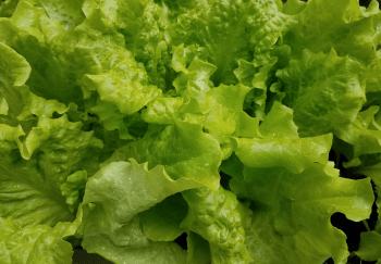 FDA Weighs In On Recent E.Coli Outbreak Involving Romaine Lettuce