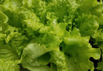 FDA Weighs In On Recent E.Coli Outbreak Involving Romaine Lettuce